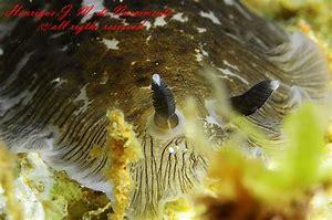 dendrodoris grandiflora palavas- bulles plongée